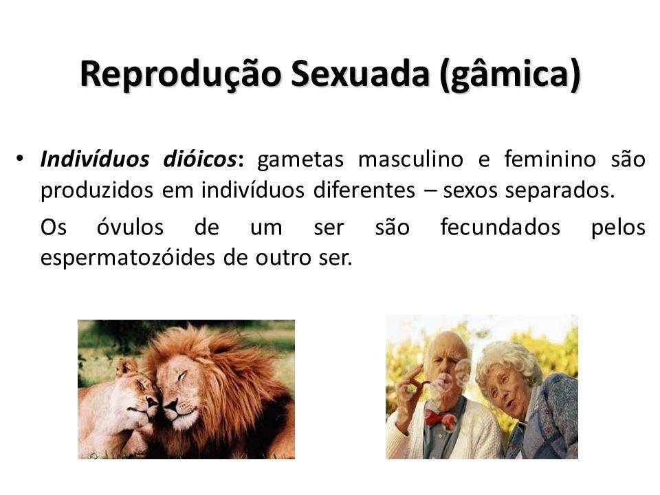 Reprodução Sexuada (gâmica) Indivíduos monóicos: gametas masculino e feminino são produzidos num mesmo indivíduo – hermafroditas.
