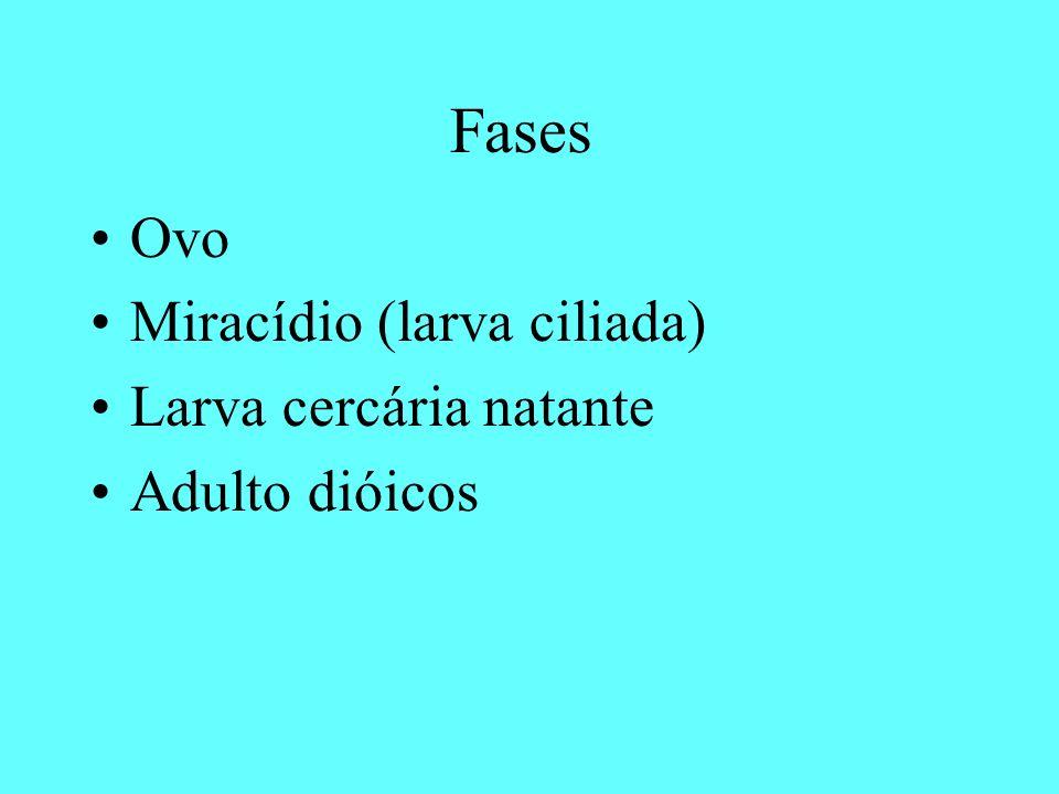 Fases Ovo Miracídio (larva ciliada) Larva cercária natante Adulto dióicos