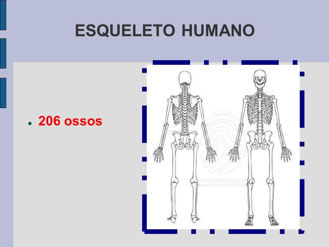 ESQUELETO HUMANO 206 ossos