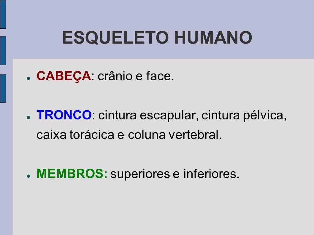 ESQUELETO HUMANO CABEÇA: crânio e face. TRONCO: cintura escapular, cintura pélvica, caixa torácica e coluna vertebral. MEMBROS: superiores e inferiore