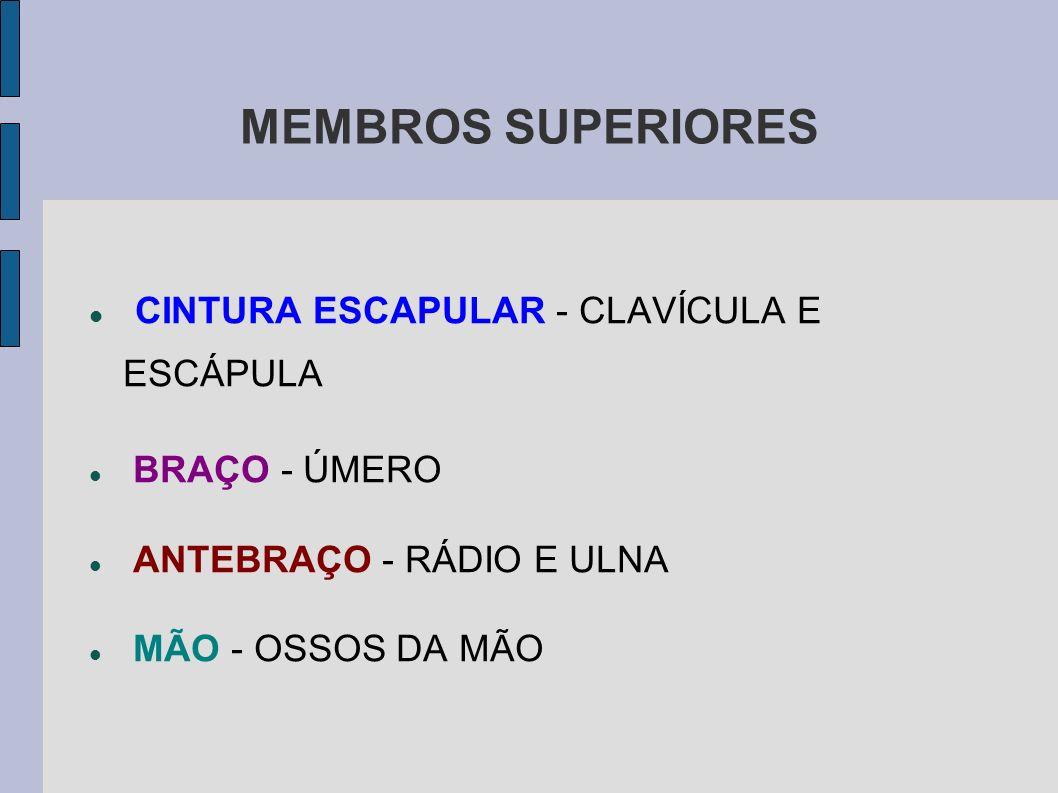MEMBROS SUPERIORES CINTURA ESCAPULAR - CLAVÍCULA E ESCÁPULA BRAÇO - ÚMERO ANTEBRAÇO - RÁDIO E ULNA MÃO - OSSOS DA MÃO