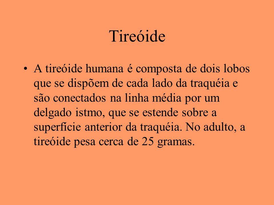 Tireóide A tireóide humana é composta de dois lobos que se dispõem de cada lado da traquéia e são conectados na linha média por um delgado istmo, que