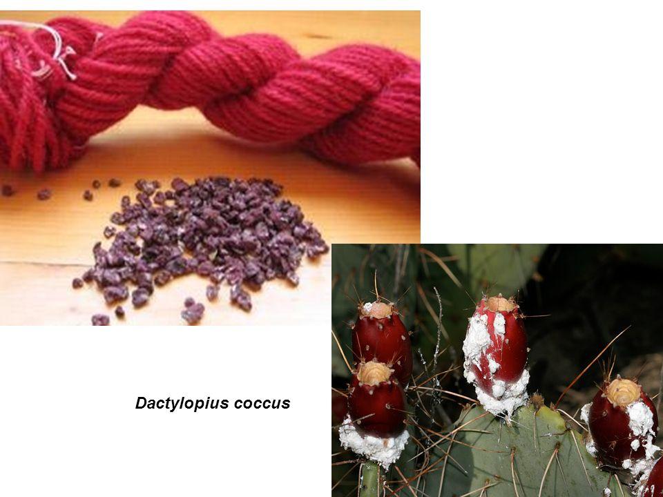 Dactylopius coccus