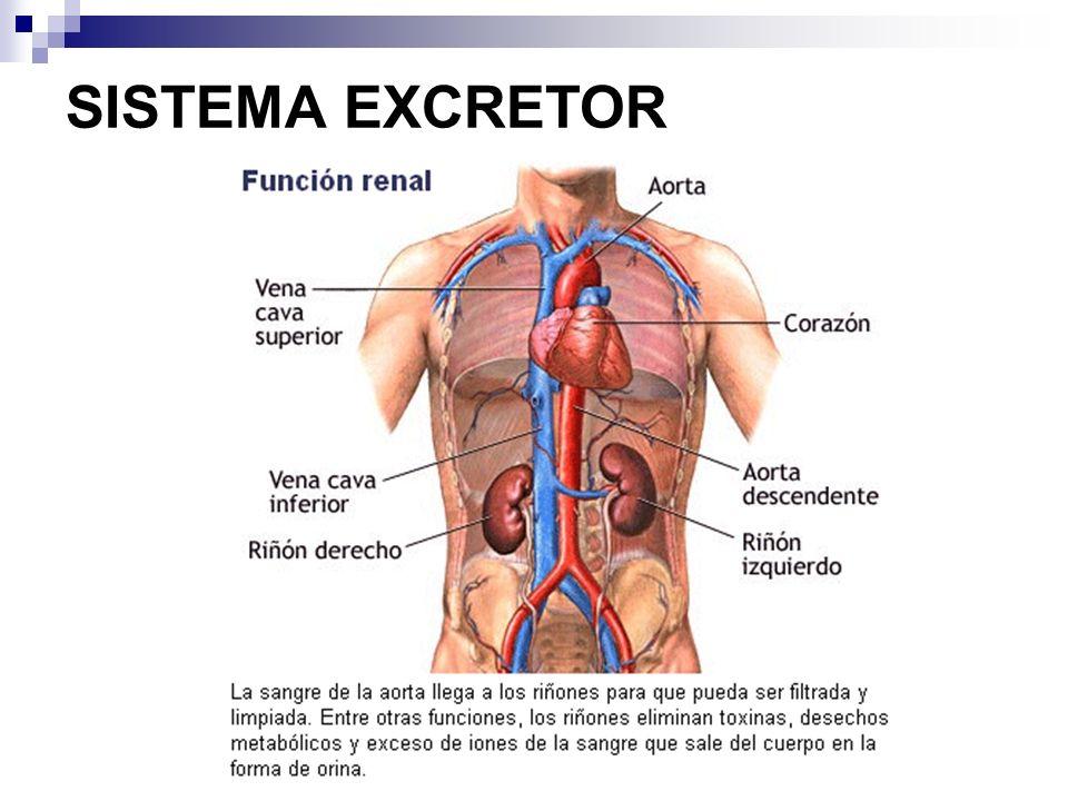 OBJETIVOS ESPECÍFICOS Conhecer a importância do sistema excretor para o organismo.