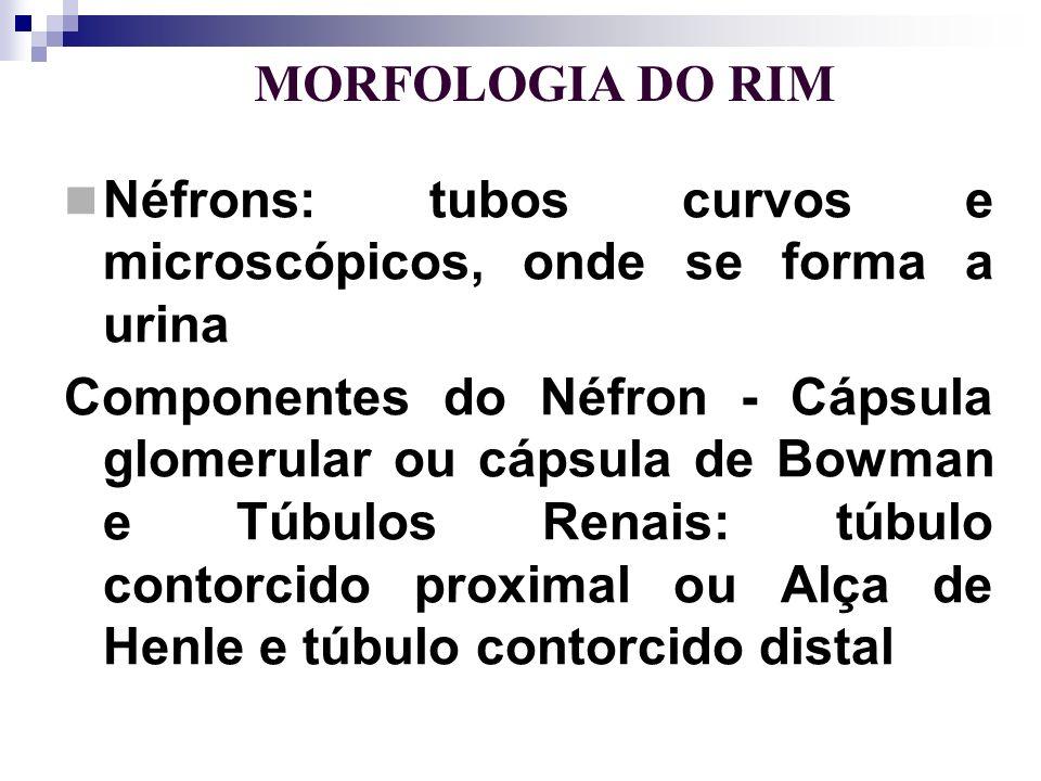 MORFOLOGIA DO RIM Cápsula glomerular – contém os glomérulos renais que são ramificações da artéria renal túbulo contorcido proximal alça de Henle túbulo contorcido distal (túbulos renais)