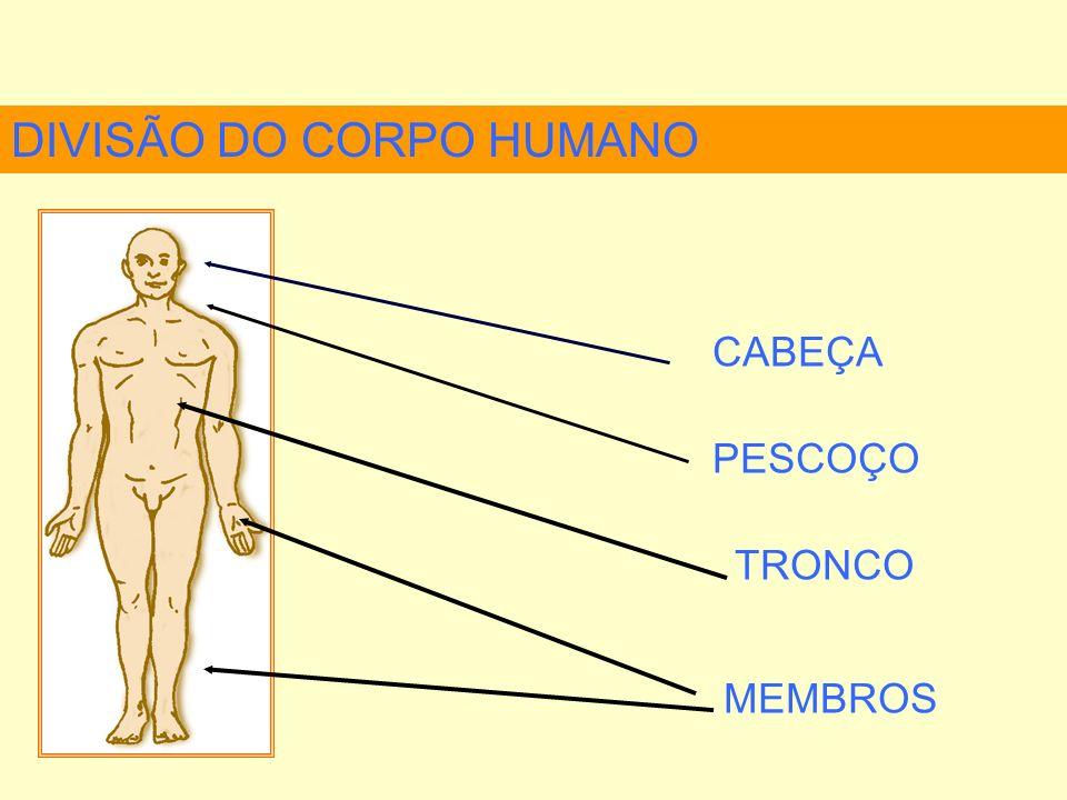 DIVISÃO DO CORPO HUMANO TRONCO TÓRAX ABDOME