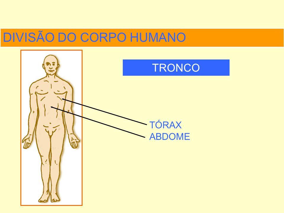 DIVISÃO DO CORPO HUMANO MEMBROS SUPERIORES INFERIORES
