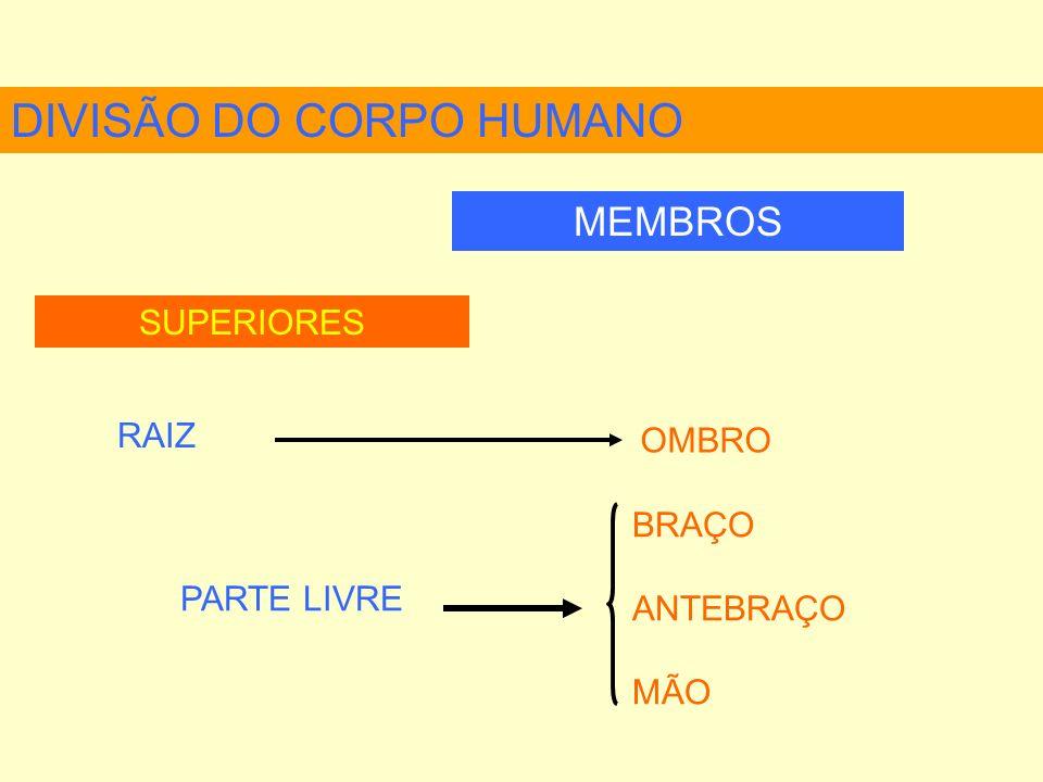 DIVISÃO DO CORPO HUMANO MEMBROS SUPERIORES RAIZ OMBRO BRAÇO ANTEBRAÇO MÃO PARTE LIVRE