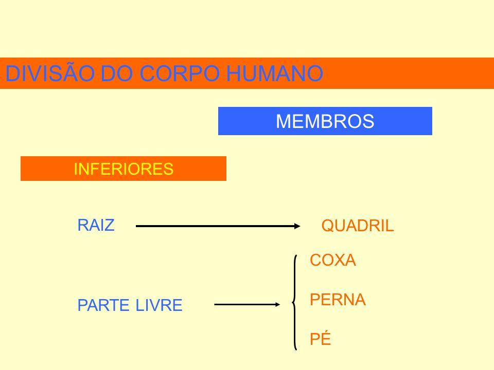 DIVISÃO DO CORPO HUMANO MEMBROS INFERIORES RAIZ QUADRIL COXA PERNA PÉ PARTE LIVRE