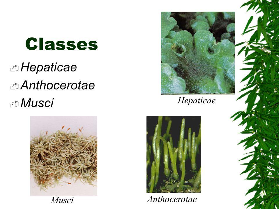 Classes Hepaticae Anthocerotae Musci Hepaticae Musci Anthocerotae