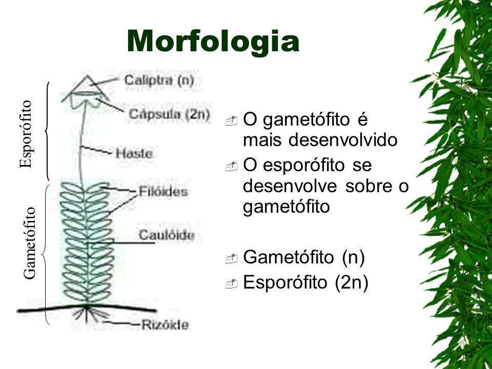 Morfologia O gametófito é mais desenvolvido O esporófito se desenvolve sobre o gametófito Gametófito (n) Esporófito (2n) Esporófito Gametófito