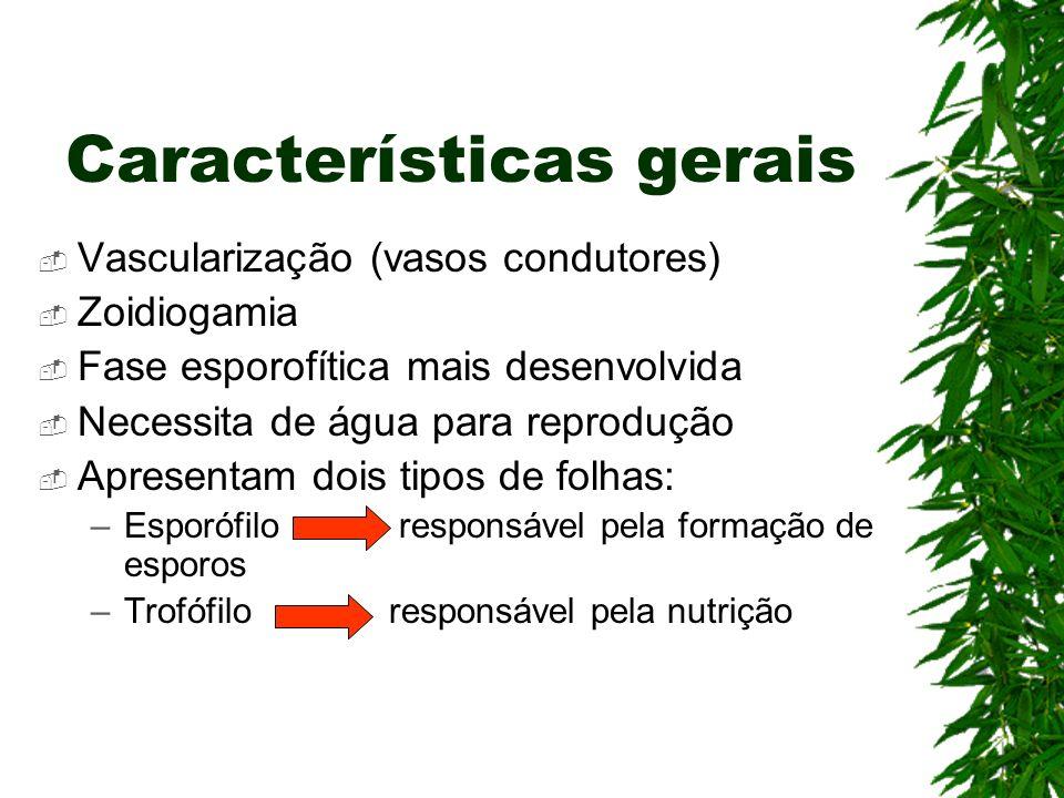 Características gerais Vascularização (vasos condutores) Zoidiogamia Fase esporofítica mais desenvolvida Necessita de água para reprodução Apresentam
