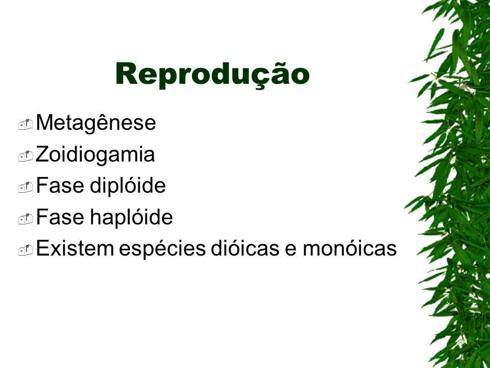 Reprodução Metagênese Zoidiogamia Fase diplóide Fase haplóide Existem espécies dióicas e monóicas
