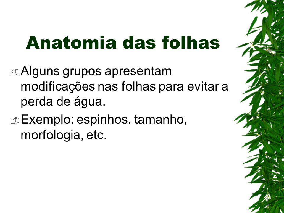 Anatomia das folhas Alguns grupos apresentam modificações nas folhas para evitar a perda de água. Exemplo: espinhos, tamanho, morfologia, etc.