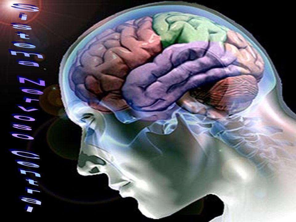 O ÁLCOOL NO CÉREBRO As pessoas quando bebem têm problemas com o equilíbrio, coordenação e juízo, além de reagirem mais lentamente a estímulos.Todos esses sinais físicos ocorrem devido à forma como o álcool afeta o cérebro e o sistema nervoso central.