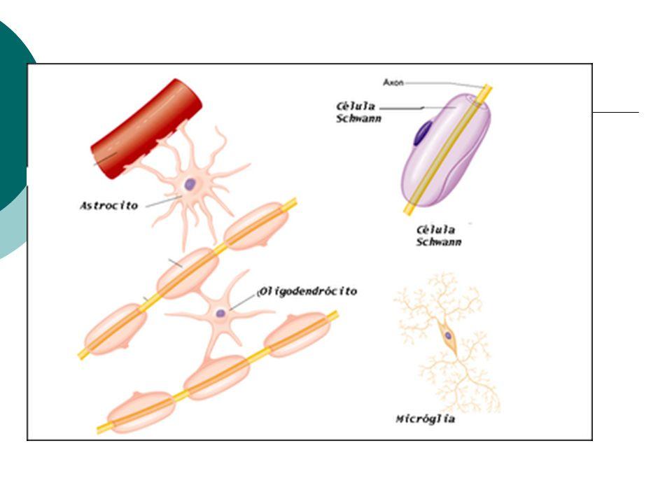 Histologia Microglia: células fagocitosas que englobam e destroem os restos celulares no SNC Células ependimárias: revestem os ventrículos do encéfalo e o canal central da medula espinal, forma o líquido cerebroespinhal e auxiliam na circulação do mesmo