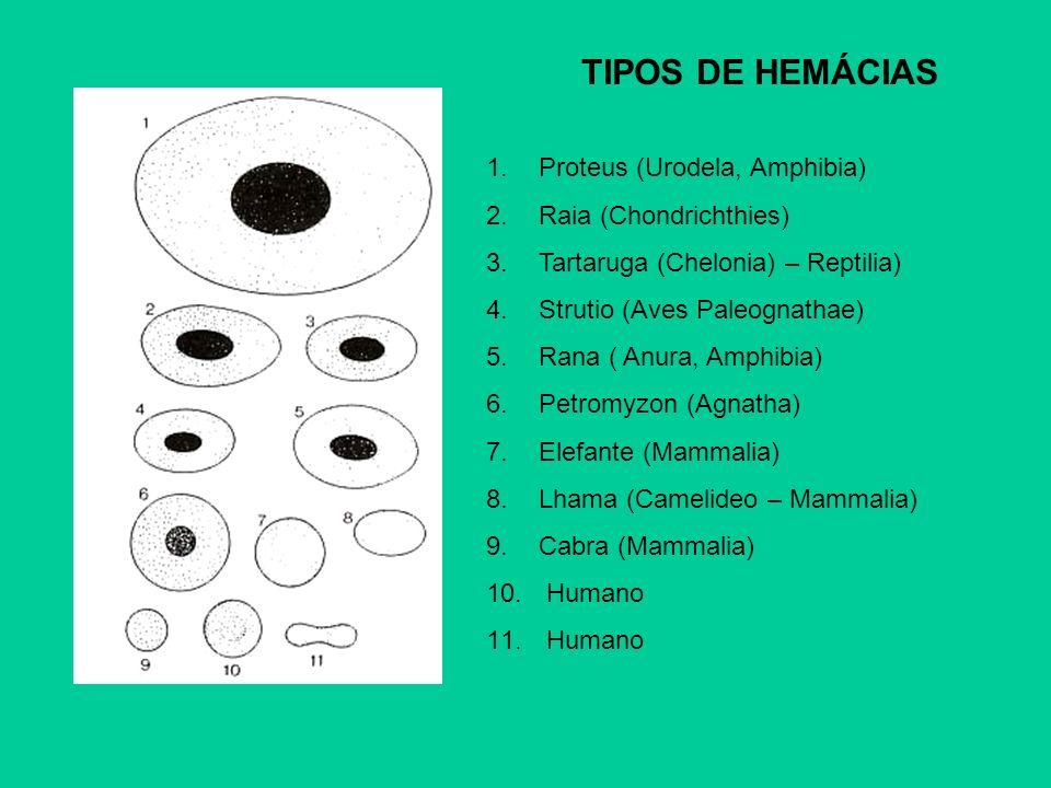 TIPOS DE HEMÁCIAS 1.Proteus (Urodela, Amphibia) 2.Raia (Chondrichthies) 3.Tartaruga (Chelonia) – Reptilia) 4.Strutio (Aves Paleognathae) 5.Rana ( Anur