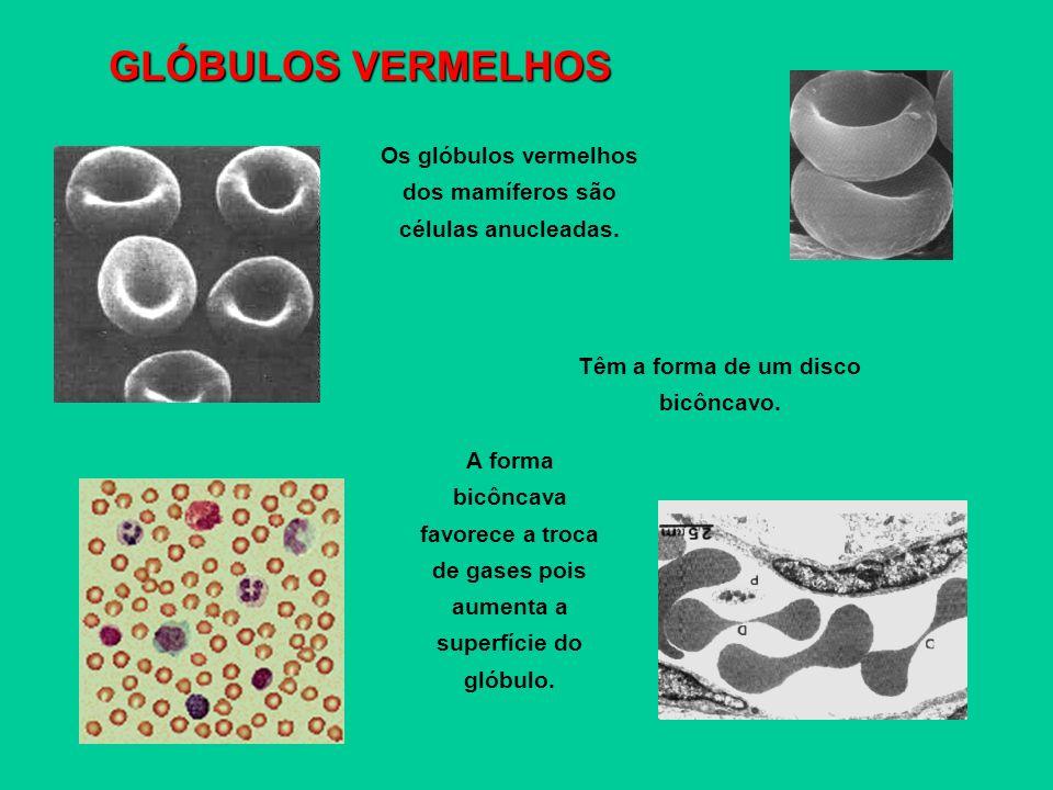 Os glóbulos vermelhos dos mamíferos são células anucleadas. Têm a forma de um disco bicôncavo. A forma bicôncava favorece a troca de gases pois aument