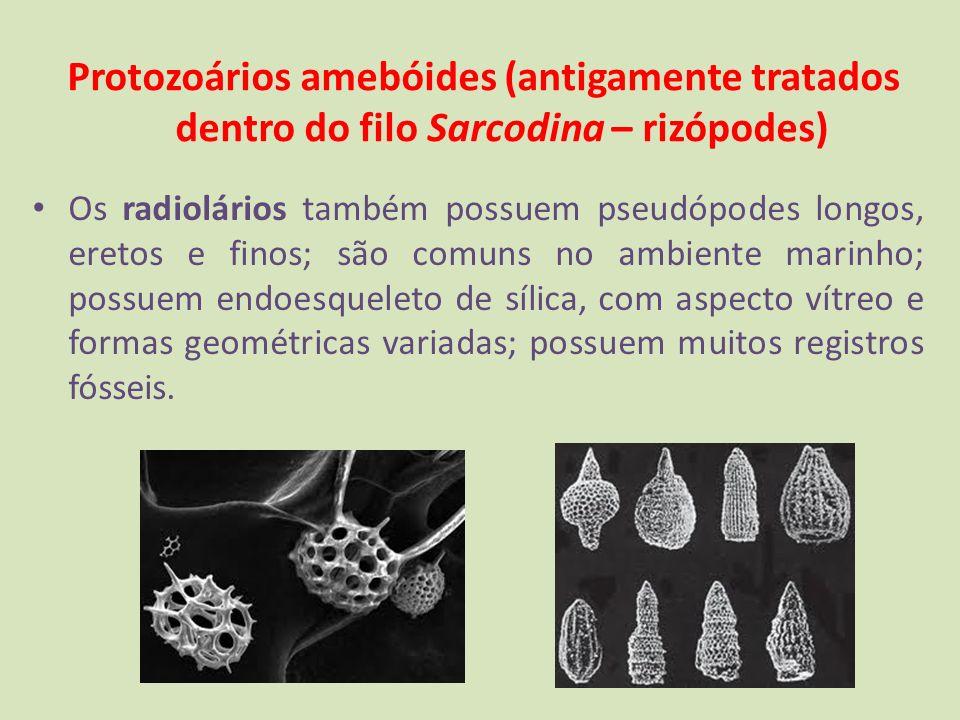 Protozoários amebóides (antigamente tratados dentro do filo Sarcodina – rizópodes) Os radiolários também possuem pseudópodes longos, eretos e finos; s