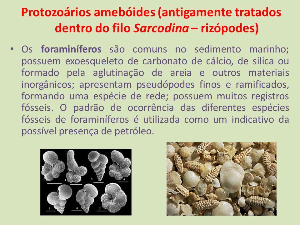 Protozoários amebóides (antigamente tratados dentro do filo Sarcodina – rizópodes) Os foraminíferos são comuns no sedimento marinho; possuem exoesquel