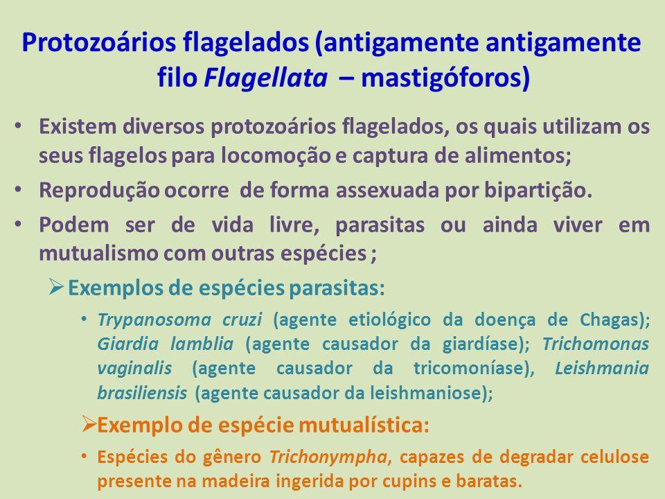 Protozoários flagelados (antigamente antigamente filo Flagellata – mastigóforos) Existem diversos protozoários flagelados, os quais utilizam os seus f