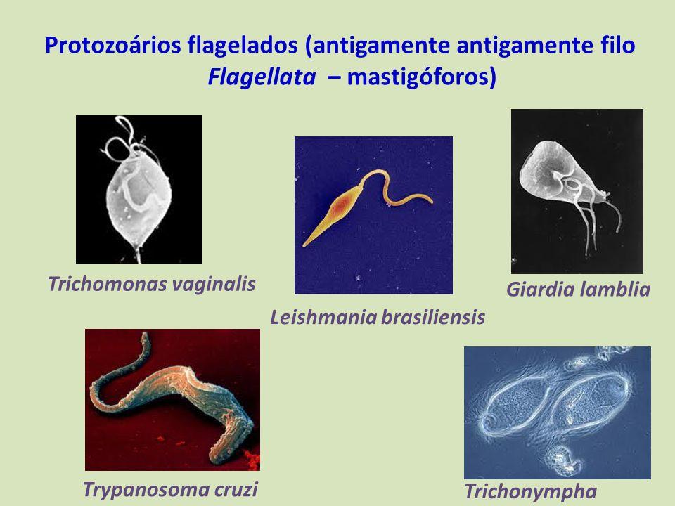 Protozoários flagelados (antigamente antigamente filo Flagellata – mastigóforos) Trypanosoma cruzi Giardia lamblia Trichomonas vaginalis Leishmania br