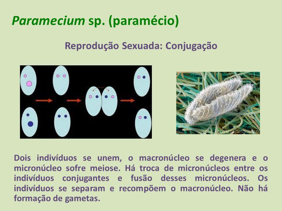 Paramecium sp. (paramécio) Reprodução Sexuada: Conjugação Dois indivíduos se unem, o macronúcleo se degenera e o micronúcleo sofre meiose. Há troca de