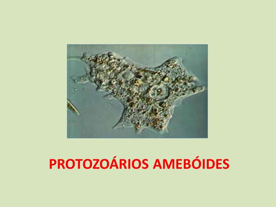 Protozoários amebóides (antigamente tratados dentro do filo Sarcodina – rizópodes) Habitat: água doce, mares e solos úmidos.
