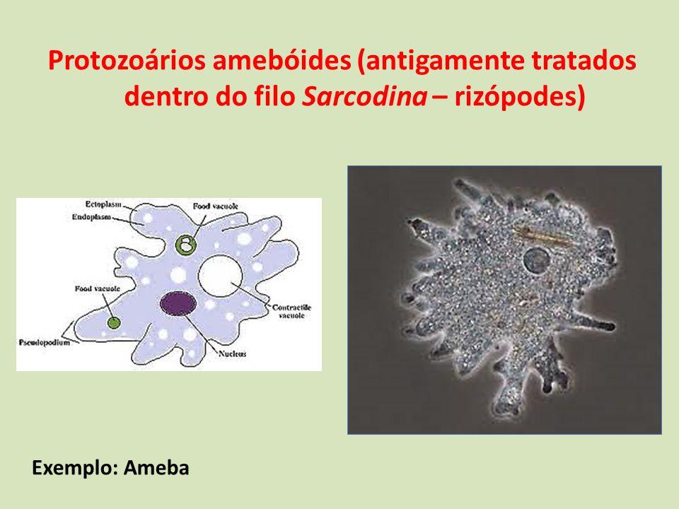 Protozoários amebóides (antigamente tratados dentro do filo Sarcodina – rizópodes) São também protozoários amebóides: Heliozoários Radiolários Foraminíferos