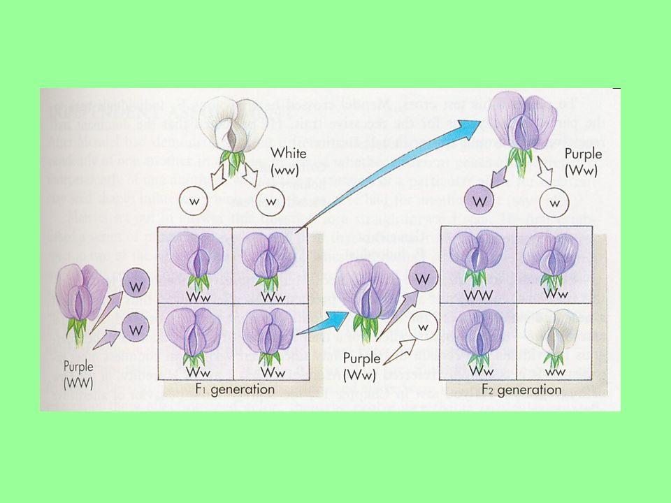 Cruzamento-teste Uma planta com flores púrpuras: é homozigota ou heterozigota.