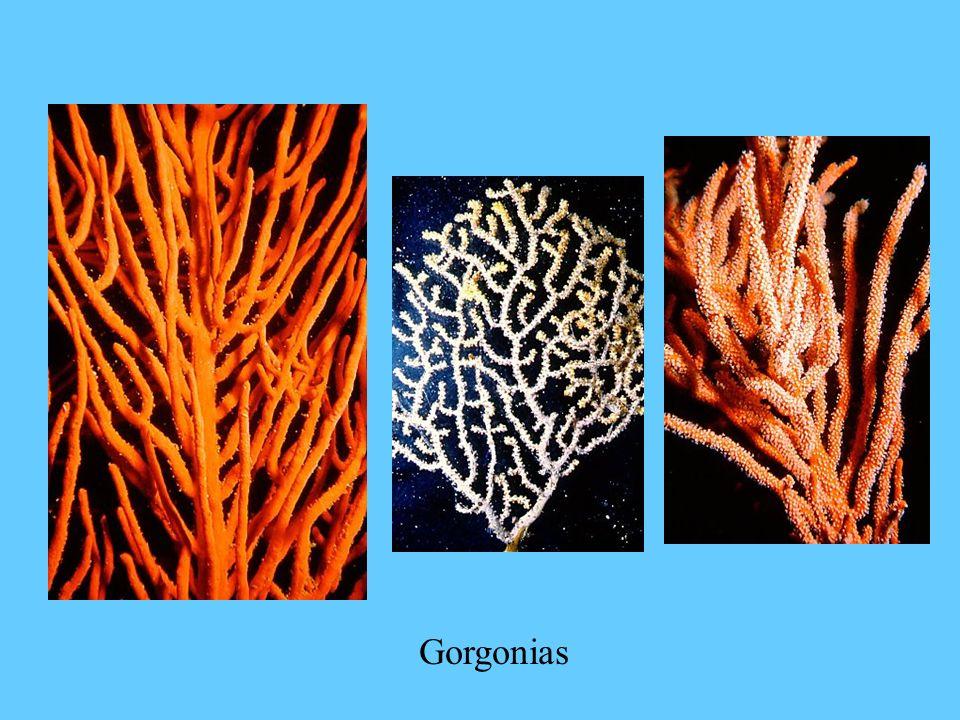 Gorgonias