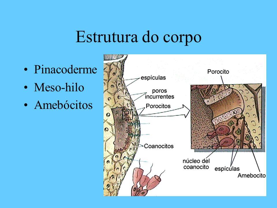Estrutura do corpo Pinacoderme Meso-hilo Amebócitos
