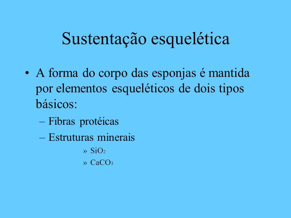 Sustentação esquelética A forma do corpo das esponjas é mantida por elementos esqueléticos de dois tipos básicos: –Fibras protéicas –Estruturas minerais »SiO 2 »CaCO 3