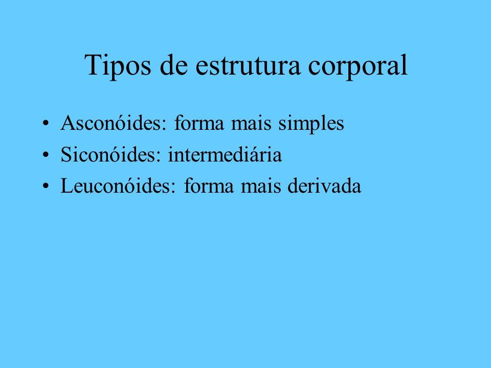 Tipos de estrutura corporal Asconóides: forma mais simples Siconóides: intermediária Leuconóides: forma mais derivada