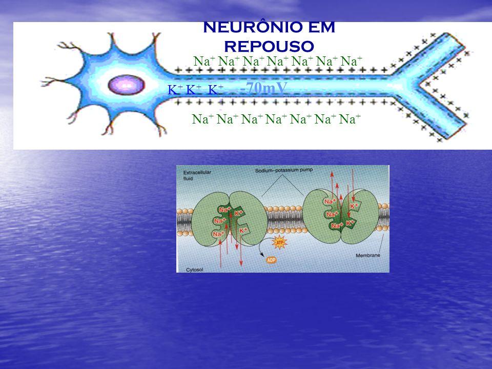 NEURÔNIO EM REPOUSO -70mV K + K + K + Na + Na + Na + Na + Na + Na + Na +