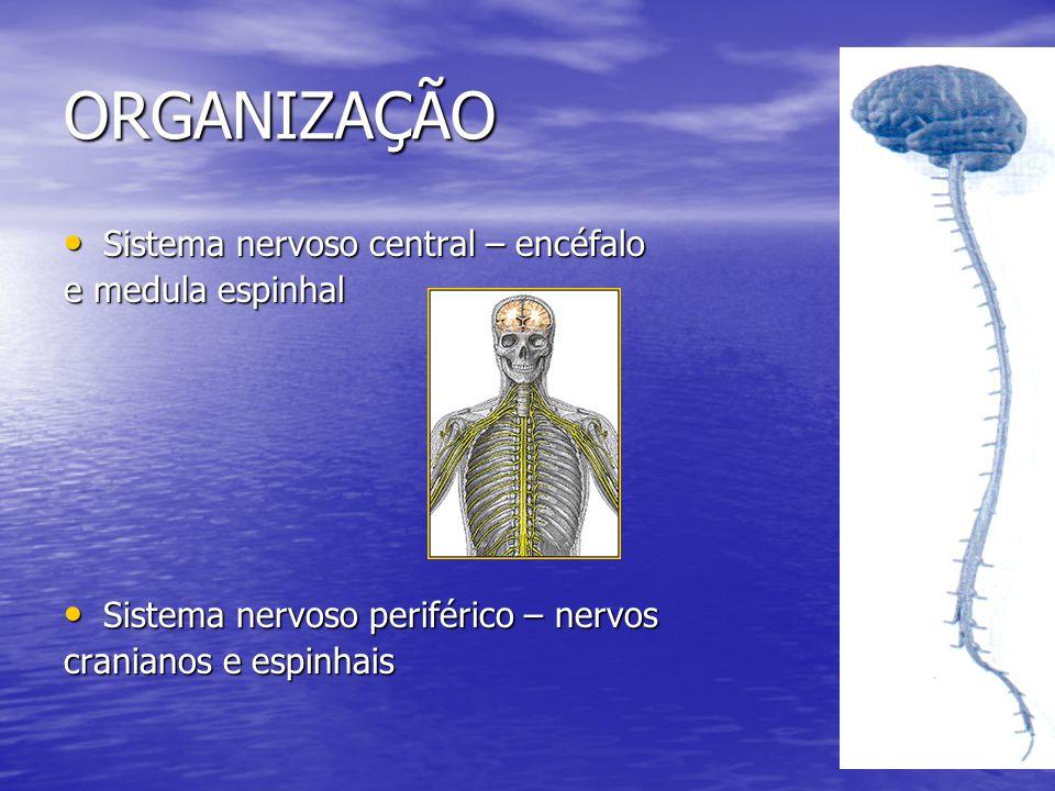 ORGANIZAÇÃO Sistema nervoso central – encéfalo Sistema nervoso central – encéfalo e medula espinhal Sistema nervoso periférico – nervos Sistema nervos