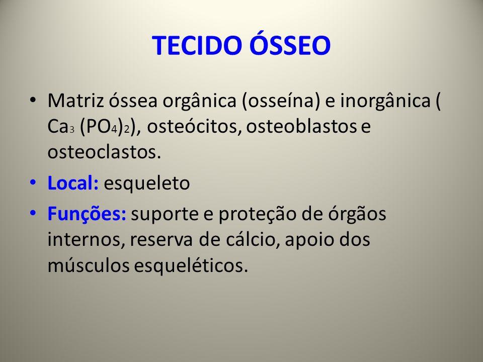 TECIDO ÓSSEO Matriz óssea orgânica (osseína) e inorgânica ( Ca 3 (PO 4 ) 2 ), osteócitos, osteoblastos e osteoclastos.