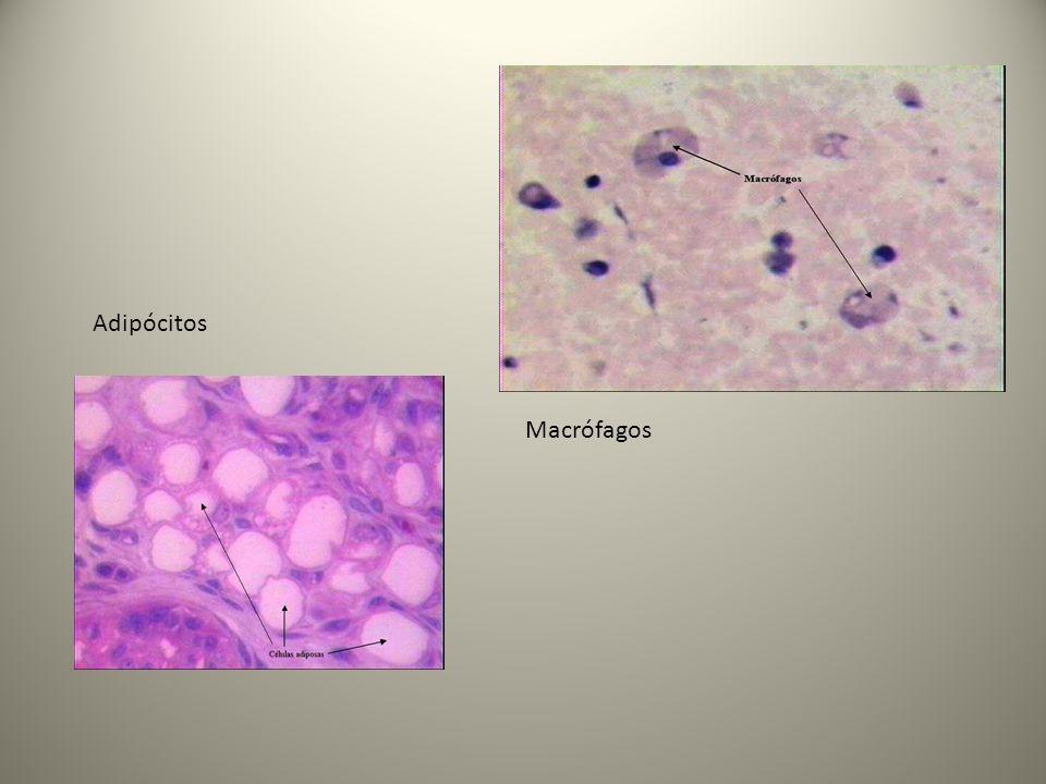 Adipócitos Macrófagos