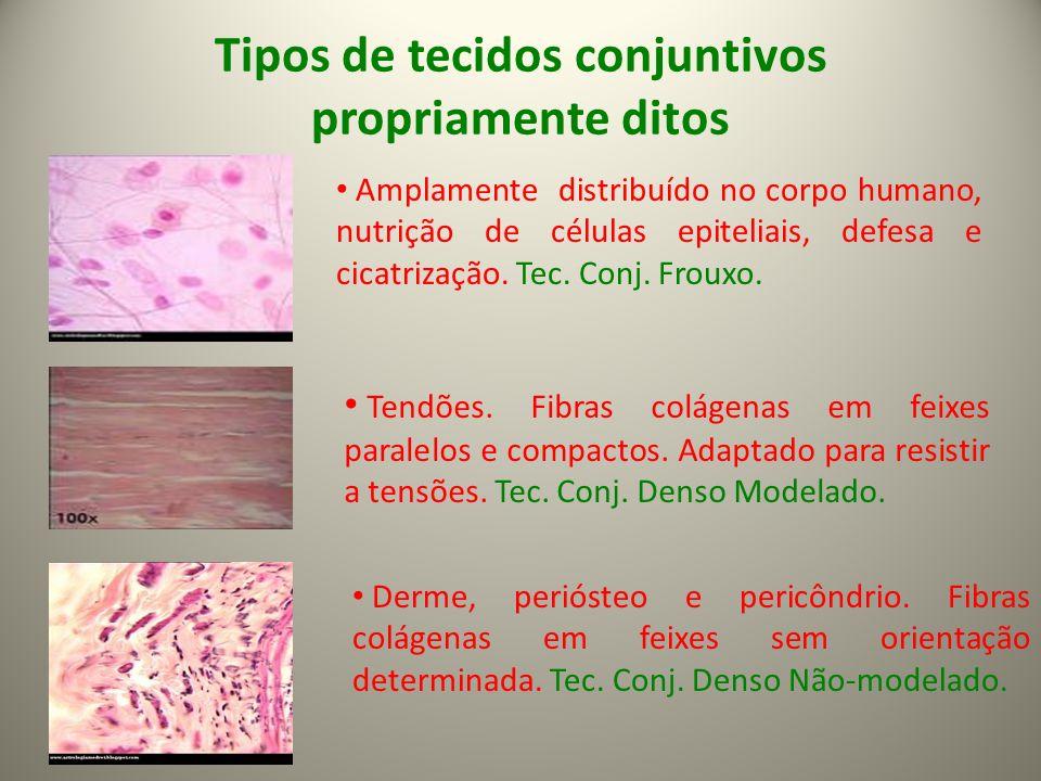 Tipos de tecidos conjuntivos propriamente ditos Amplamente distribuído no corpo humano, nutrição de células epiteliais, defesa e cicatrização.