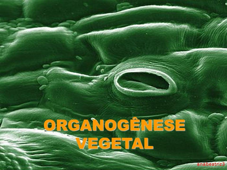 ORGANOGÊNESE VEGETAL anabeatriz3