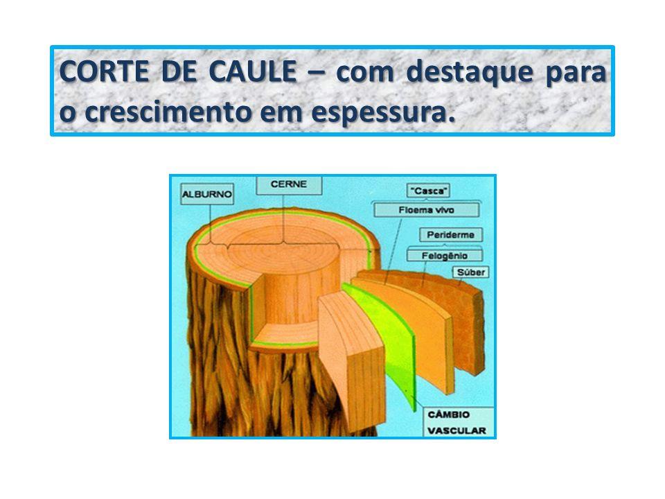 CORTE DE CAULE – com destaque para o crescimento em espessura.