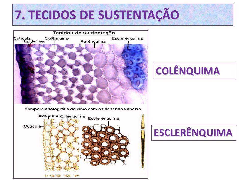 7. TECIDOS DE SUSTENTAÇÃO COLÊNQUIMA ESCLERÊNQUIMA