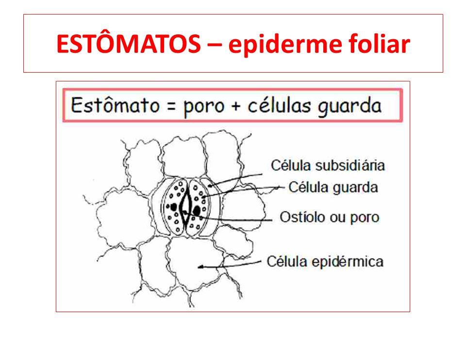 ESTÔMATOS – epiderme foliar