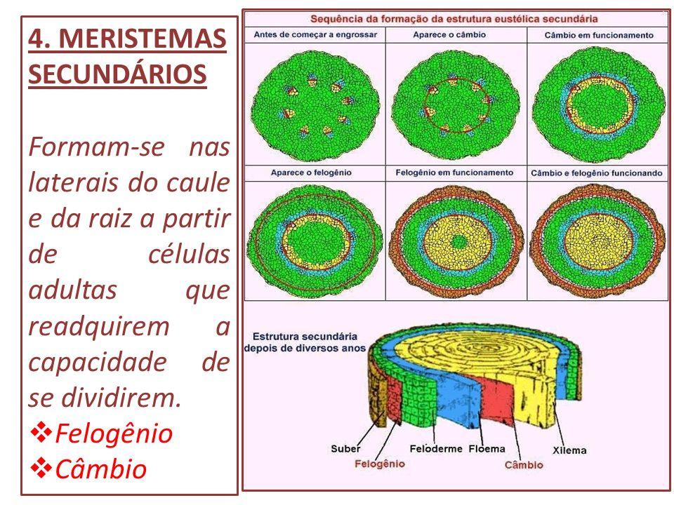 4. MERISTEMAS SECUNDÁRIOS Formam-se nas laterais do caule e da raiz a partir de células adultas que readquirem a capacidade de se dividirem. Felogênio