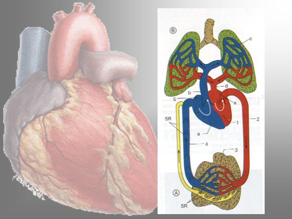 O Coração localização - entre os pulmões repousando no músculo diafragma, região denominada mediastino.