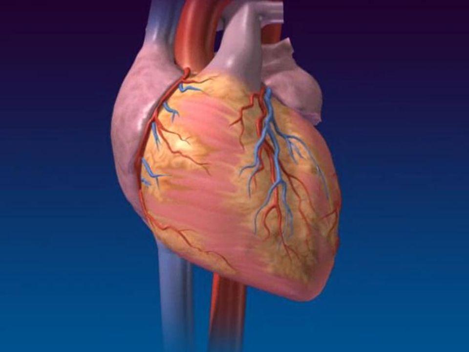 SISTEMA CARDIOVASCULAR FISIOLOGIA INERVAÇÃO PARASSIMPÁTICO NERVO VAGO AÇÃO LOCALIZADA NÓ SINOATRIAL; NÓ ATRIO-VENTRICULAR ACETILCOLINA RECEPTOR MUSCARÍNICO (DEIXA MAIS ATIVOS OS CANAIS DE K + /HIPERPOLARIZAÇÃO) BRADICARDIA DIMINUIÇÃO DA FREQUÊNCIA CARDÍACA DIMINUIÇÃO DA FORÇA DE CONTRAÇÃO