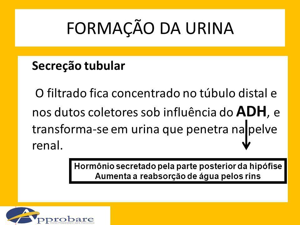 FORMAÇÃO DA URINA Secreção tubular O filtrado fica concentrado no túbulo distal e nos dutos coletores sob influência do ADH, e transforma-se em urina