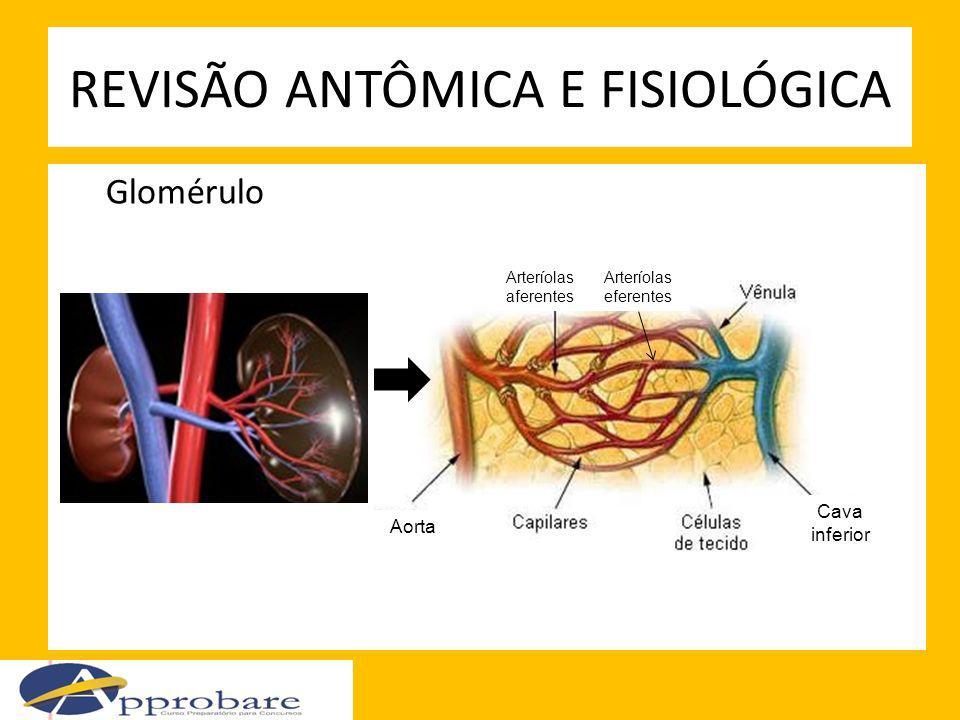 Glomérulo REVISÃO ANTÔMICA E FISIOLÓGICA Aorta Cava inferior Arteríolas aferentes Arteríolas eferentes