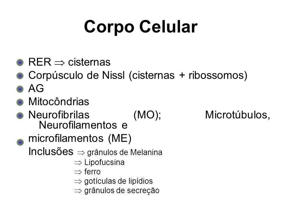 Corpo Celular RER cisternas Corpúsculo de Nissl (cisternas + ribossomos) AG Mitocôndrias Neurofibrilas (MO); Microtúbulos, Neurofilamentos e microfila