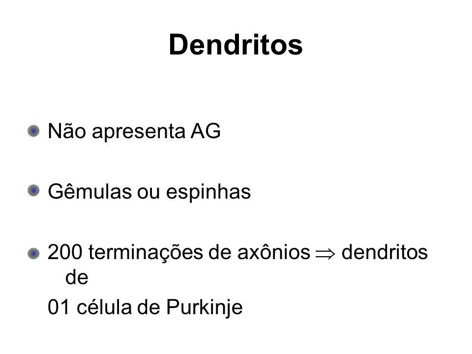 Dendritos Não apresenta AG Gêmulas ou espinhas 200 terminações de axônios dendritos de 01 célula de Purkinje